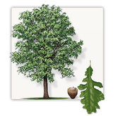 Bur oak tree graphic - Iowa's state tree
