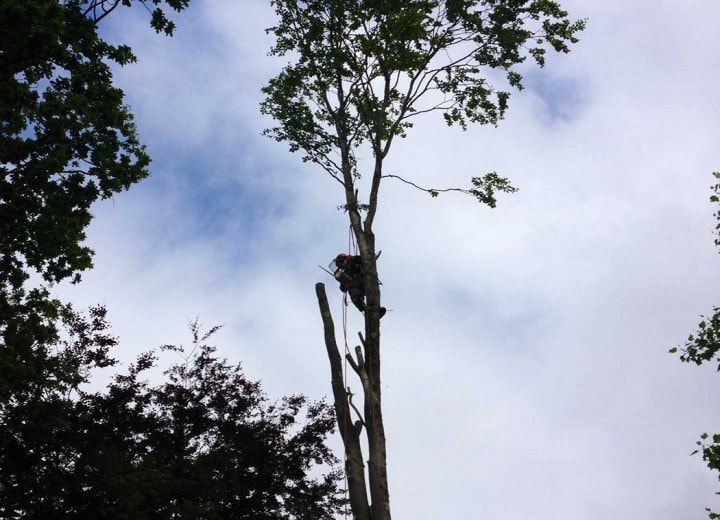 Tree removal service cutting main trunk
