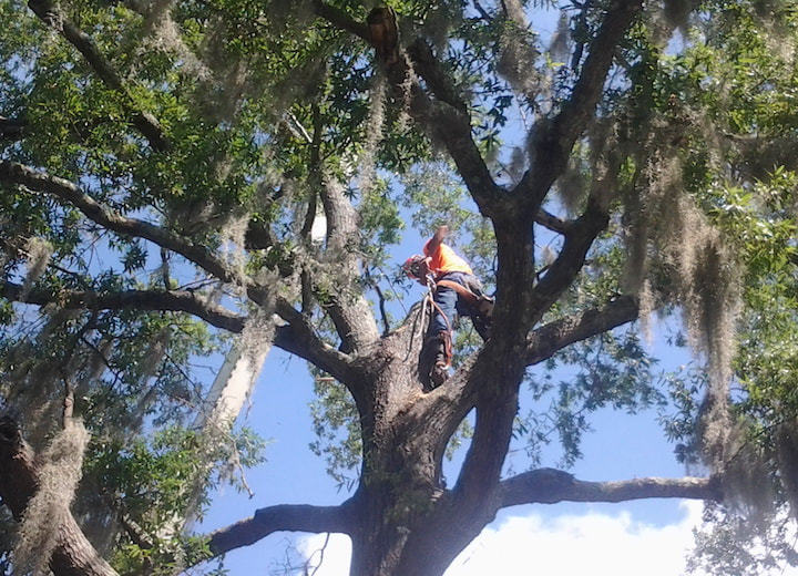 Tree trimming worker up in a black oak tree