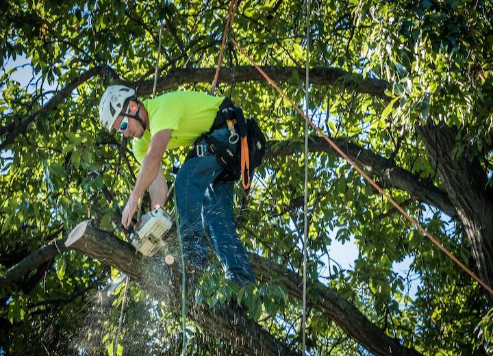 Tree trimming service worker making close cut on an outer branch